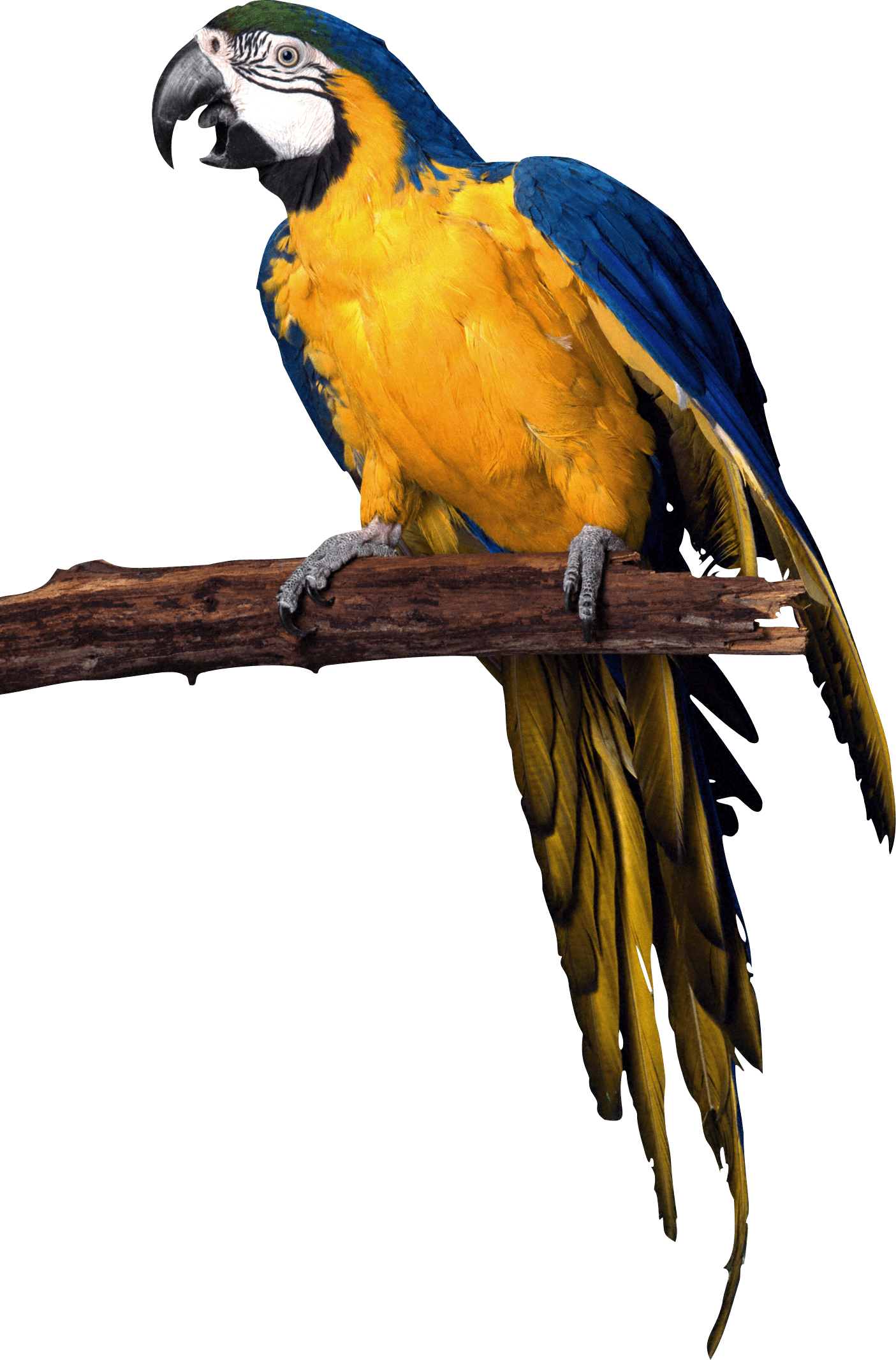Pirate png image purepng. Parrot clipart blue yellow macaw