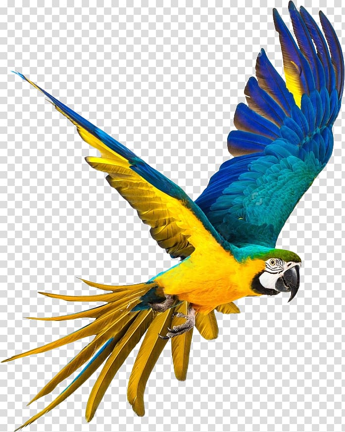 And feather bird . Parrot clipart blue yellow macaw