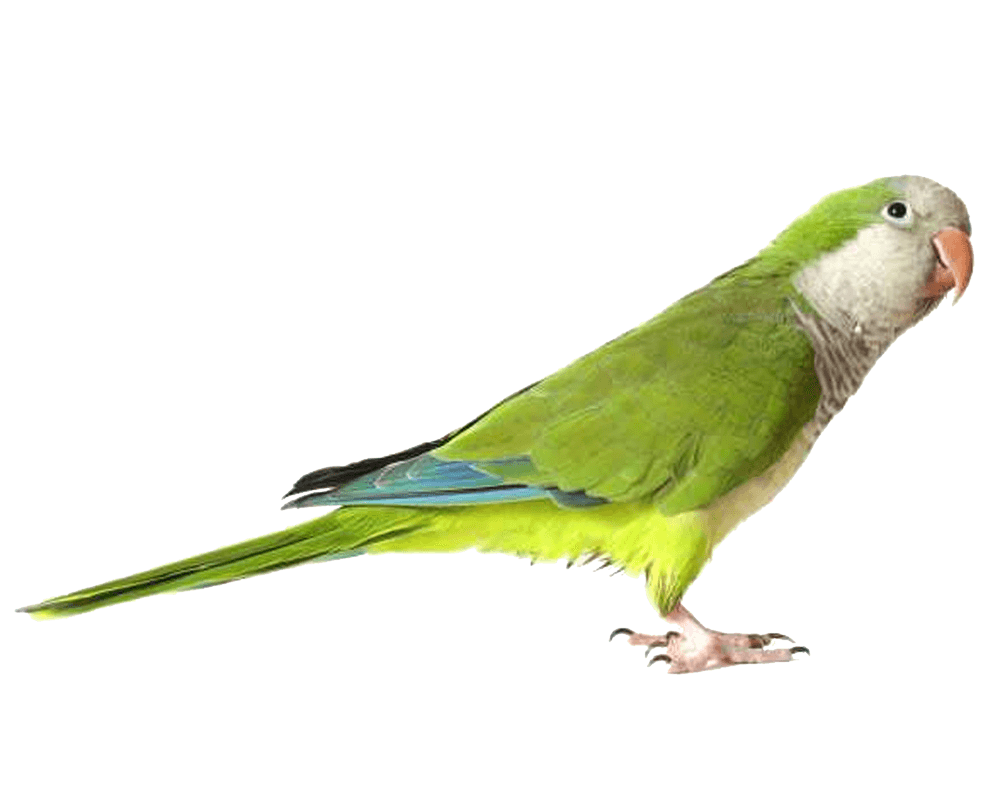 Green png image purepng. Parrot clipart budgie