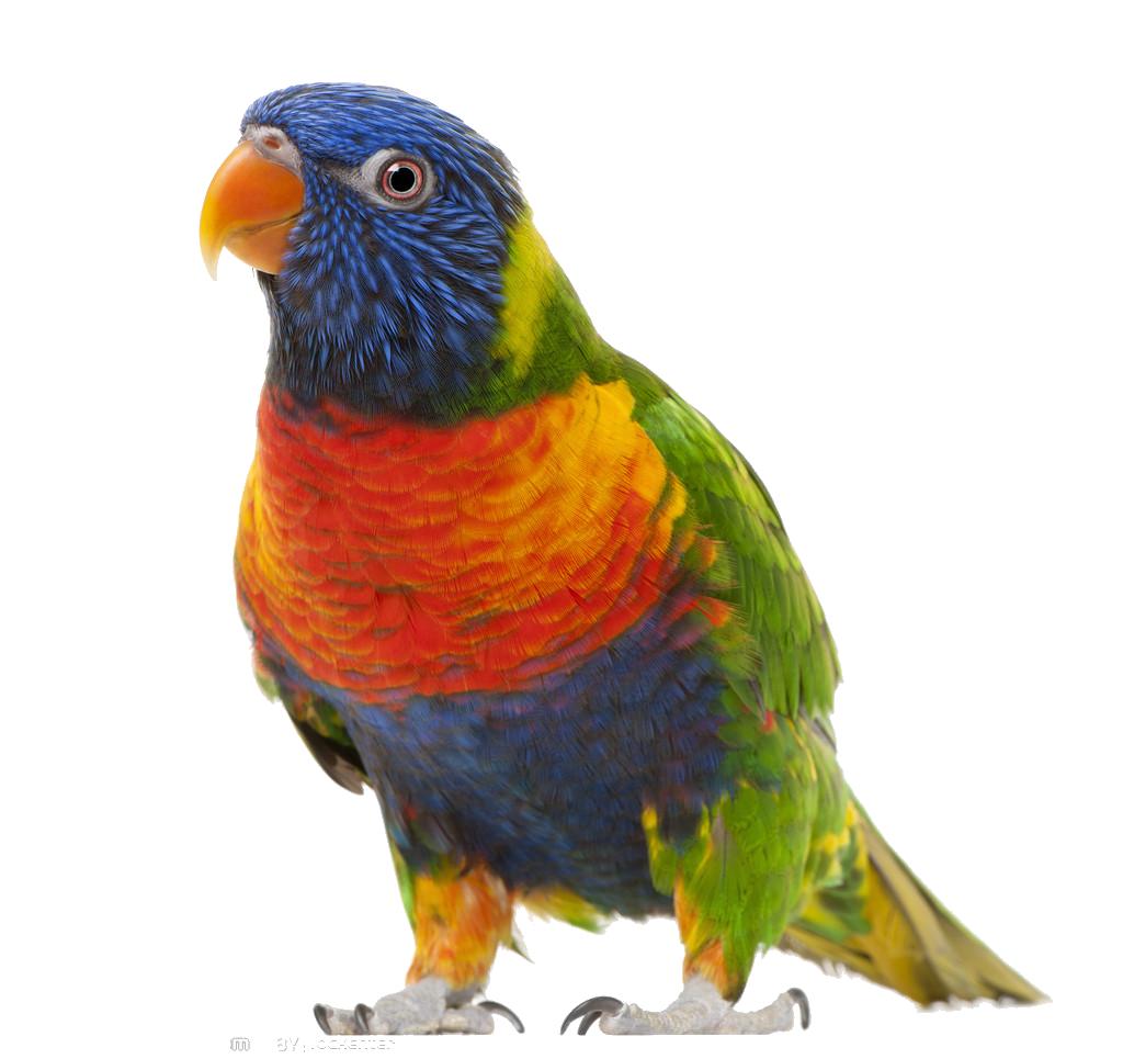 Parrot clipart budgie. Bird true clip art