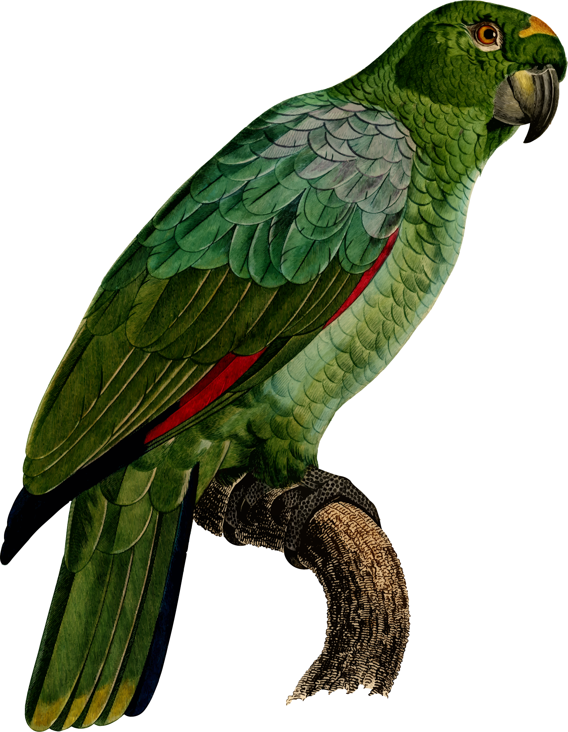 Big image png. Parrot clipart budgie