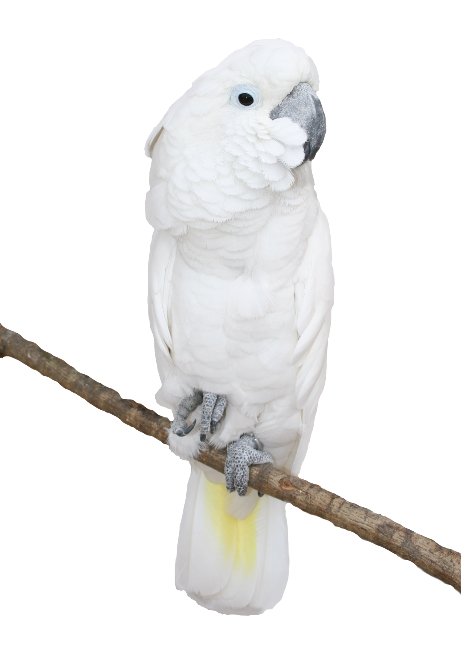 Transparent png picture gallery. White clipart parrot