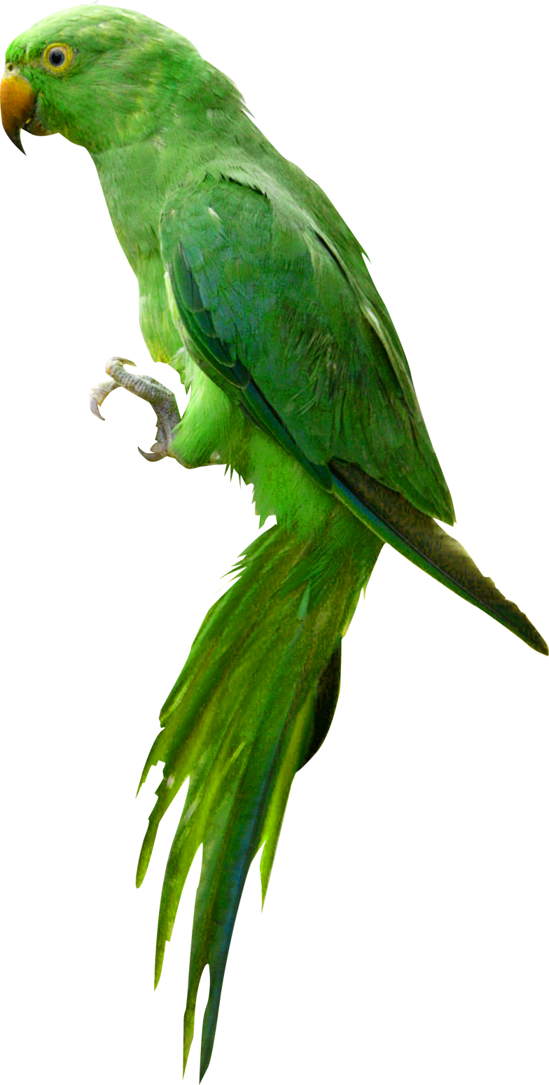 Png image mart. Parrot clipart green indian