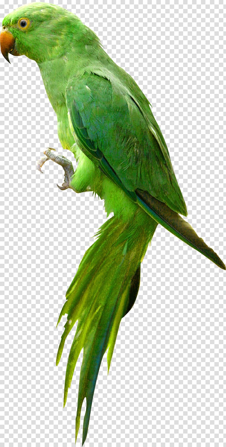 Bird cute transparent background. Parrot clipart green parrot
