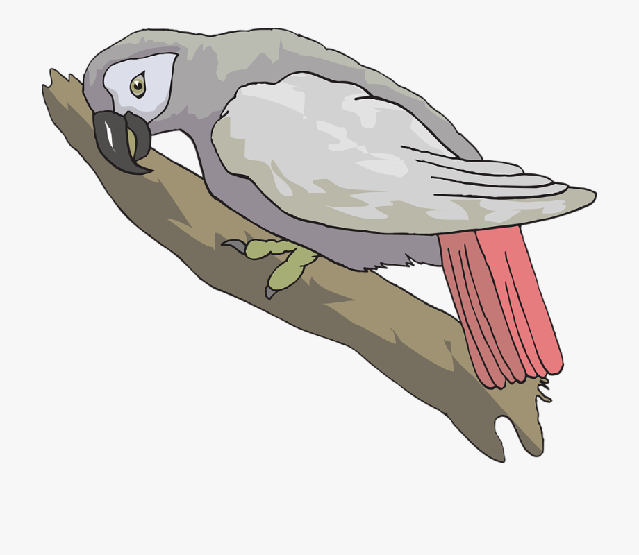 Parrot clipart grey parrot. The african is one