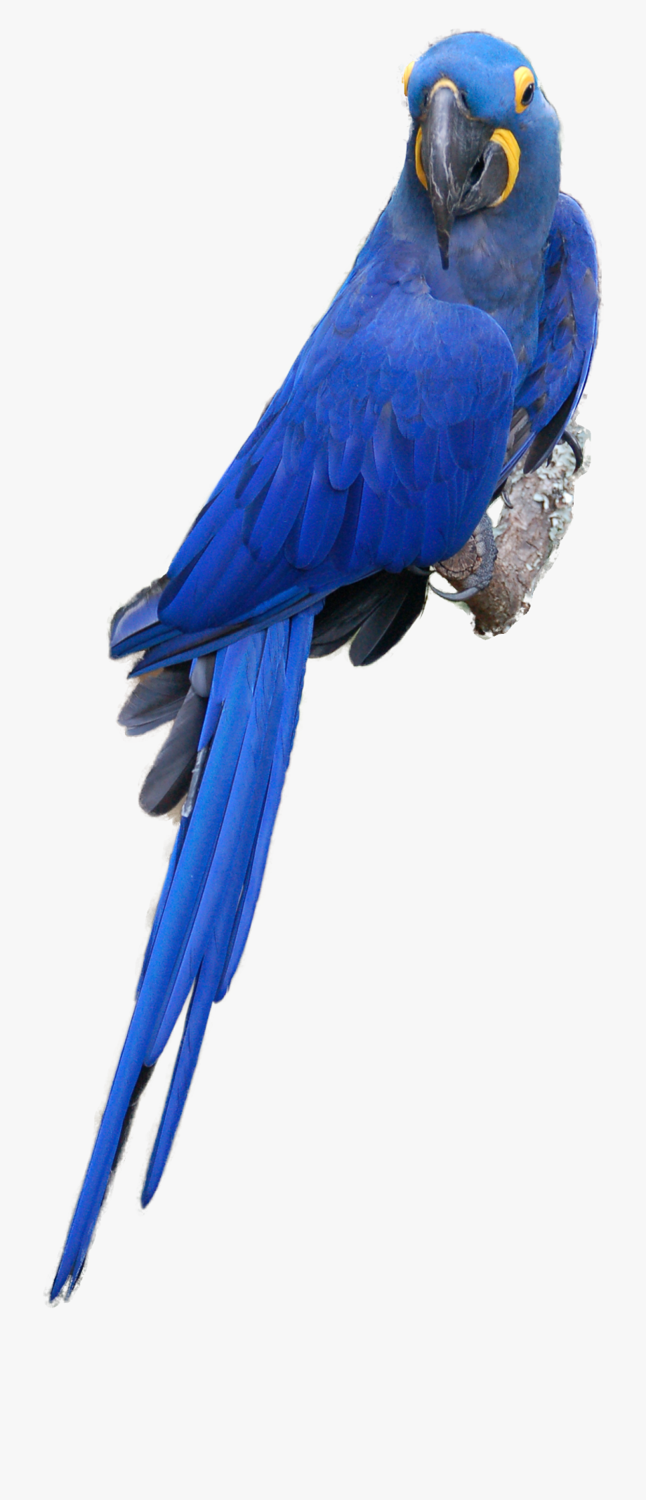 Toucan transparent free . Parrot clipart hyacinth macaw