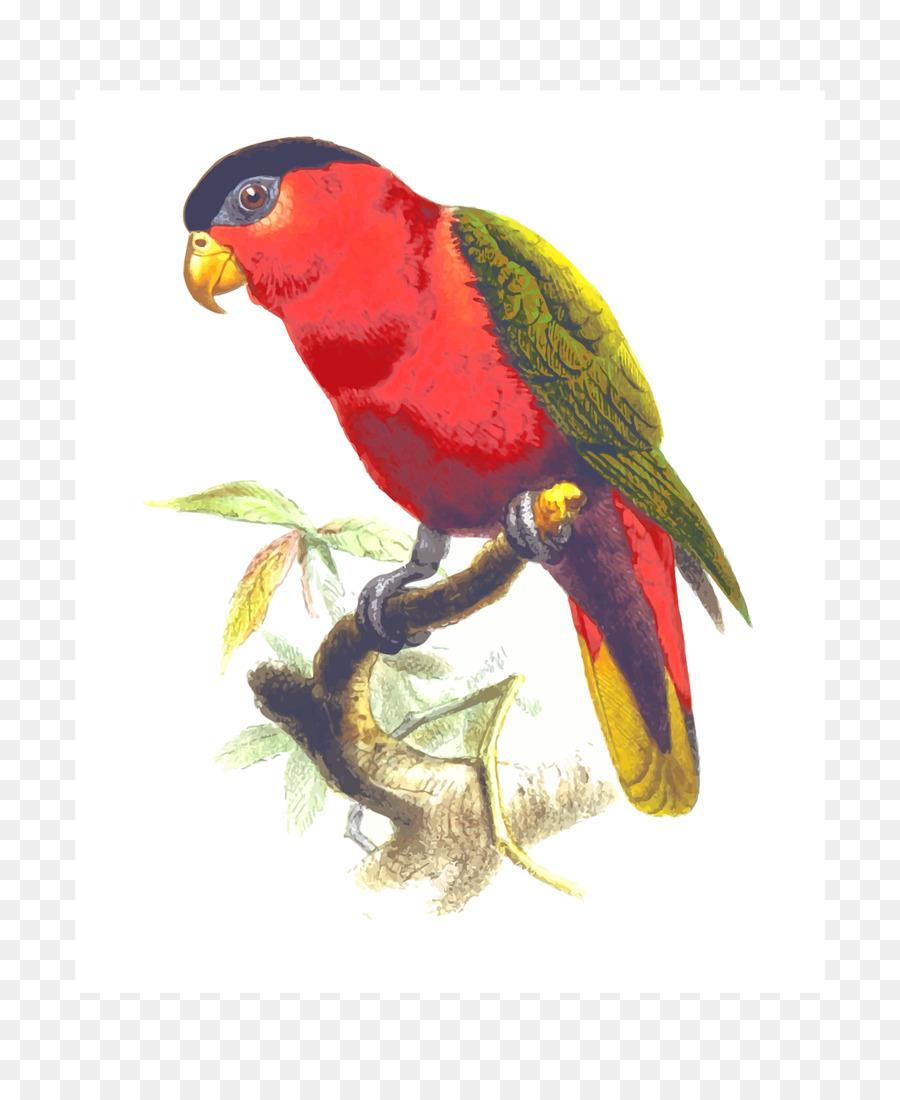 Bird feather transparent . Parrot clipart nuri