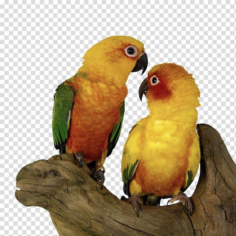 Parrot clipart pair bird. Sun conure budgerigar shu