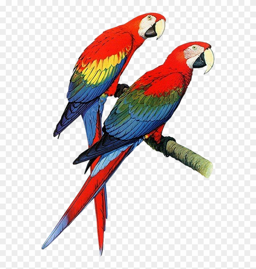 Hardcover parrots of the. Parrot clipart parakeet