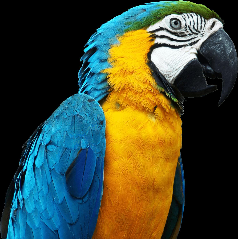 Large transparent png stickpng. Parrot clipart parrot head