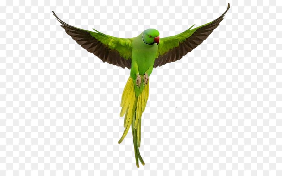 Parrot clipart parrot wing. Bird transparent clip art