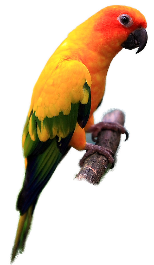 Indian digitalspace info. Parrot clipart perico