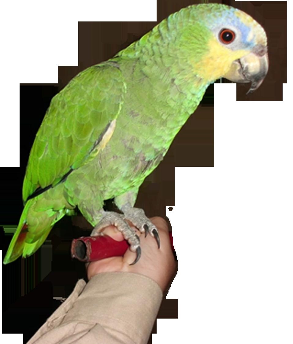 Transparent png pictures free. Parrot clipart perico