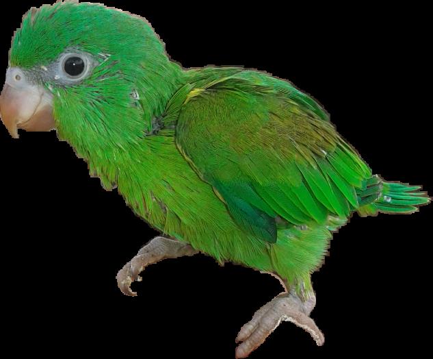Parrot clipart perico. Animal verde bebe bonito