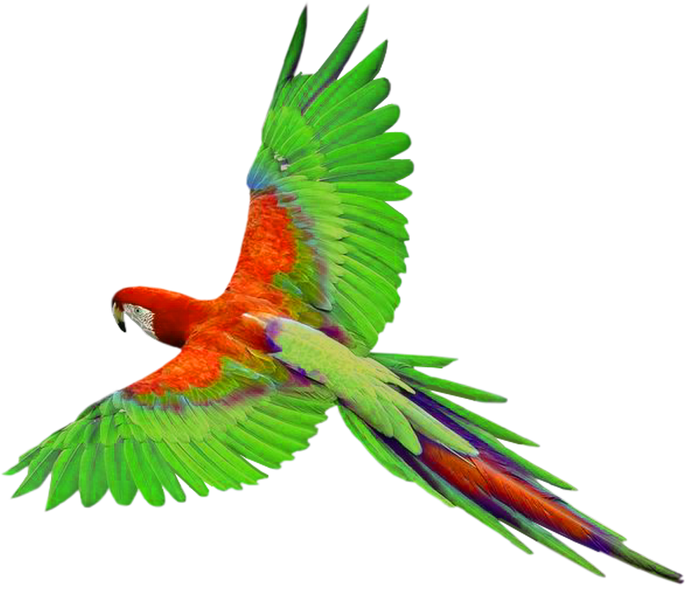 Parrot clipart perico. Home a practice focused