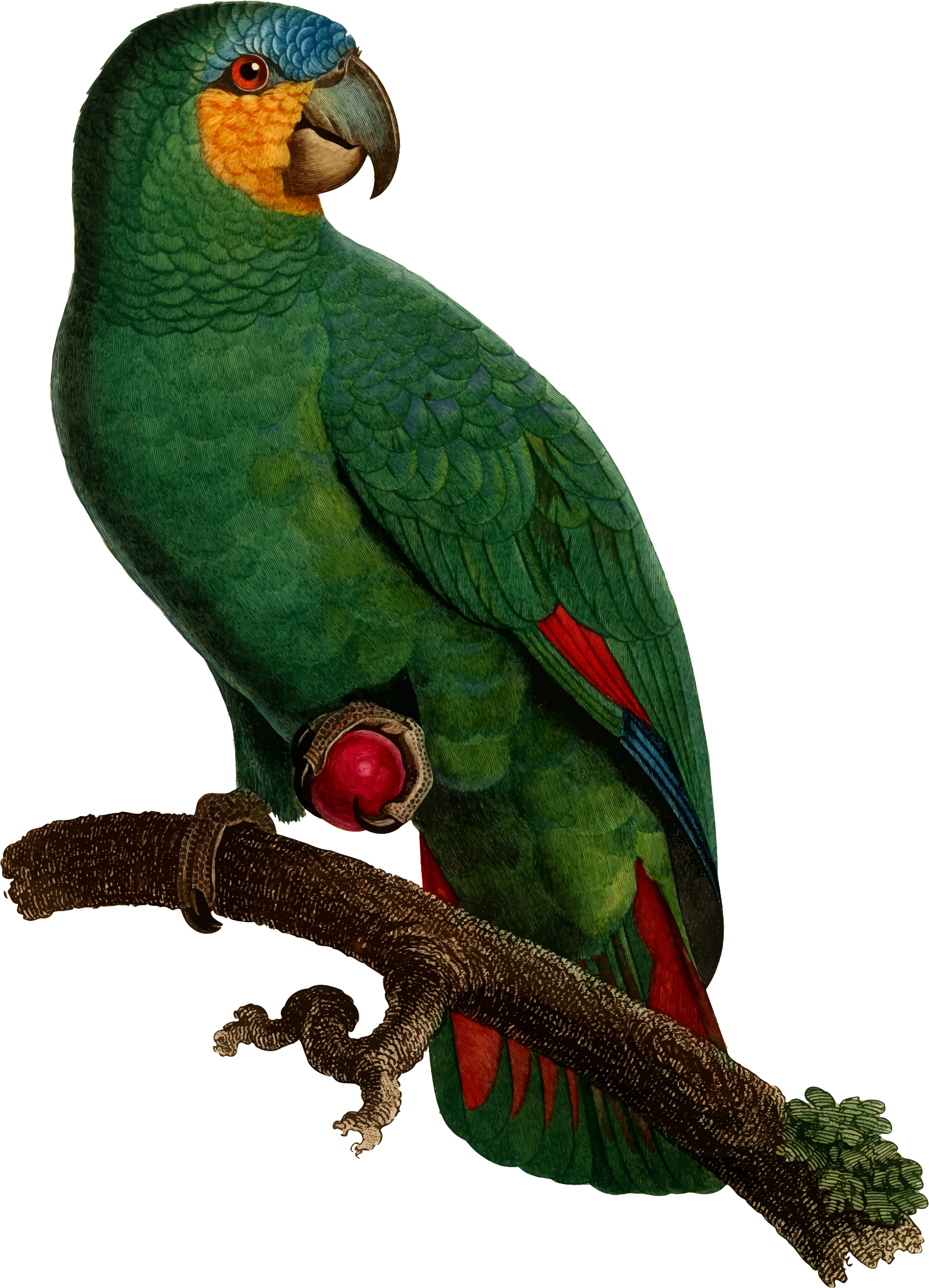 Free on dumielauxepices net. Parrot clipart perico