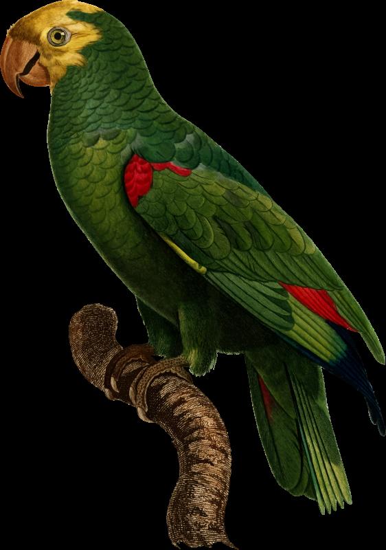 Parrot clipart perico. Medium image png