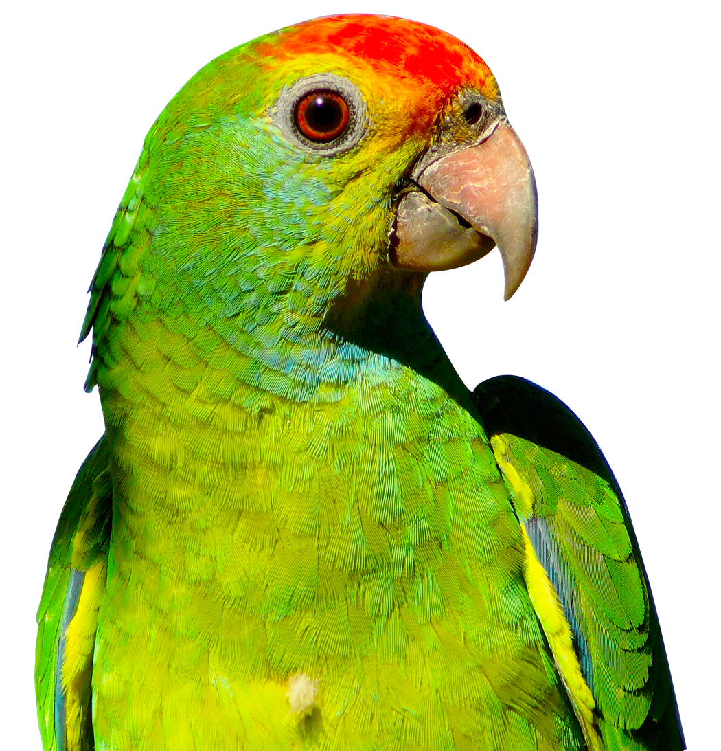 Parrot clipart perico. Png image purepng free