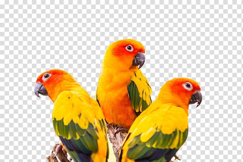 Parrot clipart sun conure. Three orange and green