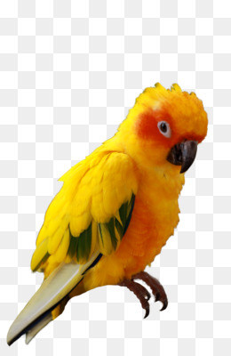 Png and transparent free. Parrot clipart sun conure