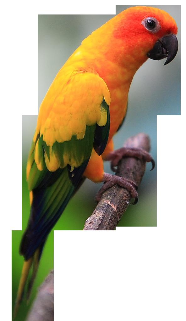 Free on dumielauxepices net. Parrot clipart sun conure