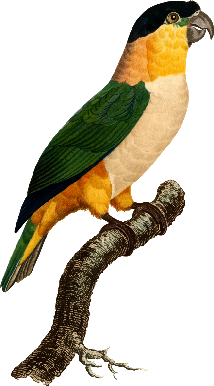 Medium image png . Parrot clipart tail