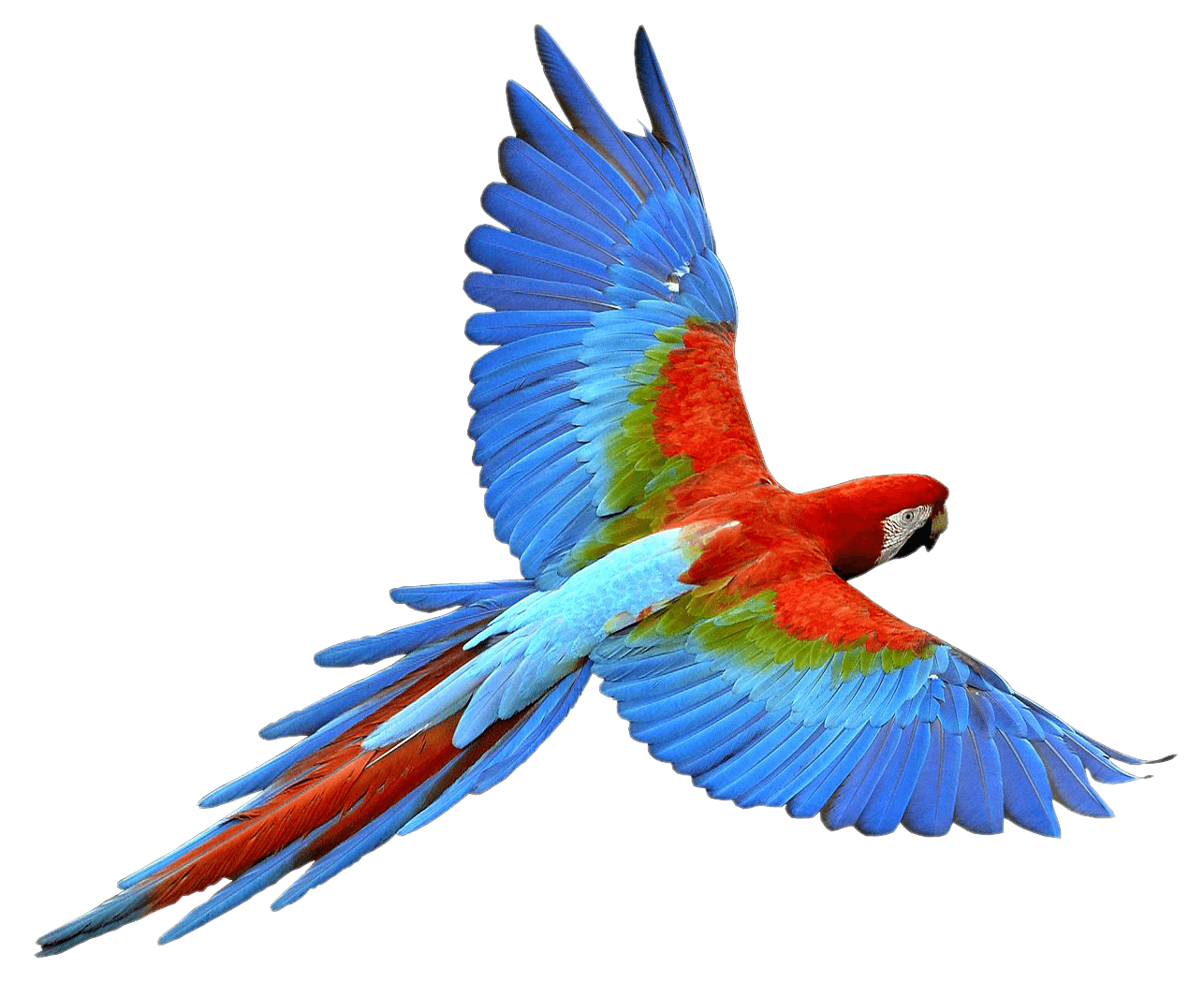 Parrot clipart tail. Flying red blue transparent