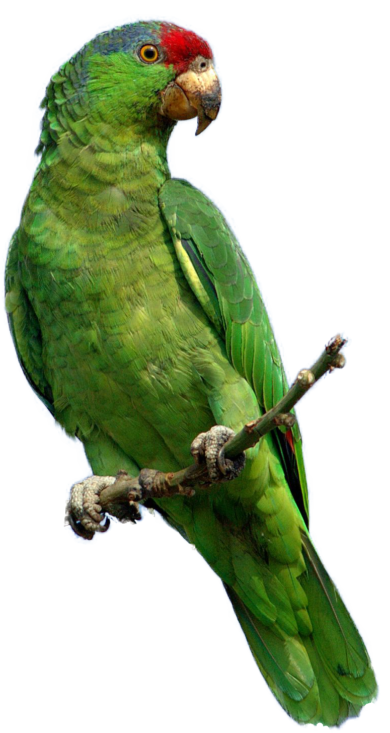 Png images free download. Parrot clipart three green