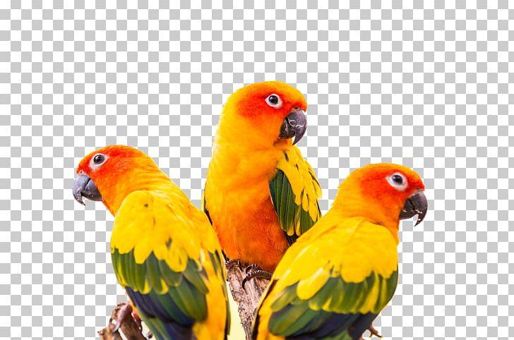 Sun conure cheeked parakeet. Parrot clipart three green