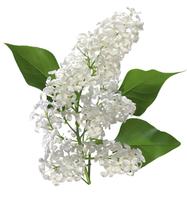Transparent white lilac gallery. Path clipart valley