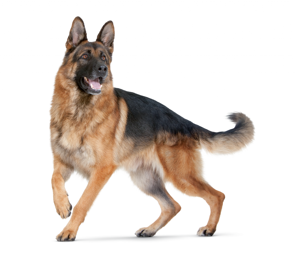 Dog google search ivali. Paw clipart german shepherd