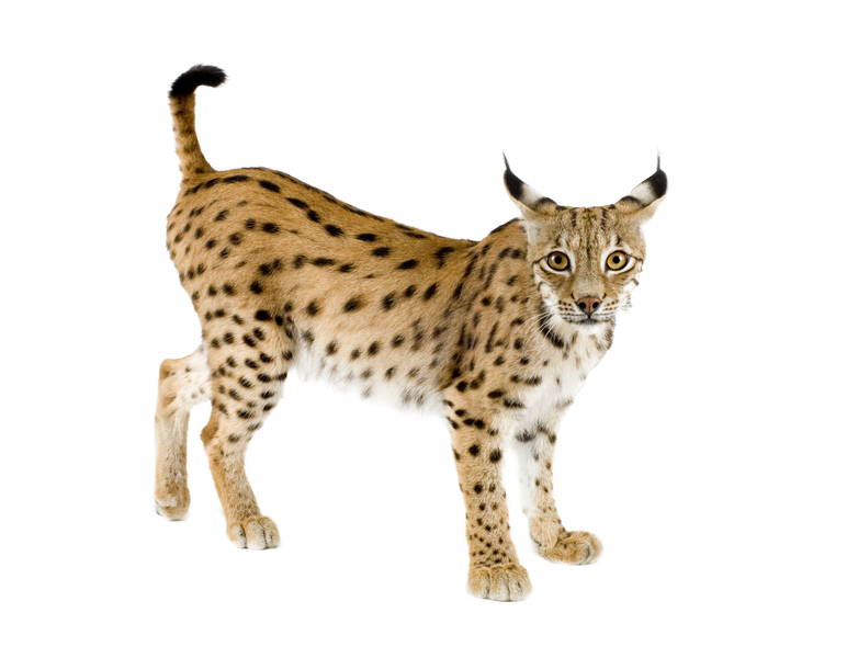 Png . Paw clipart lynx