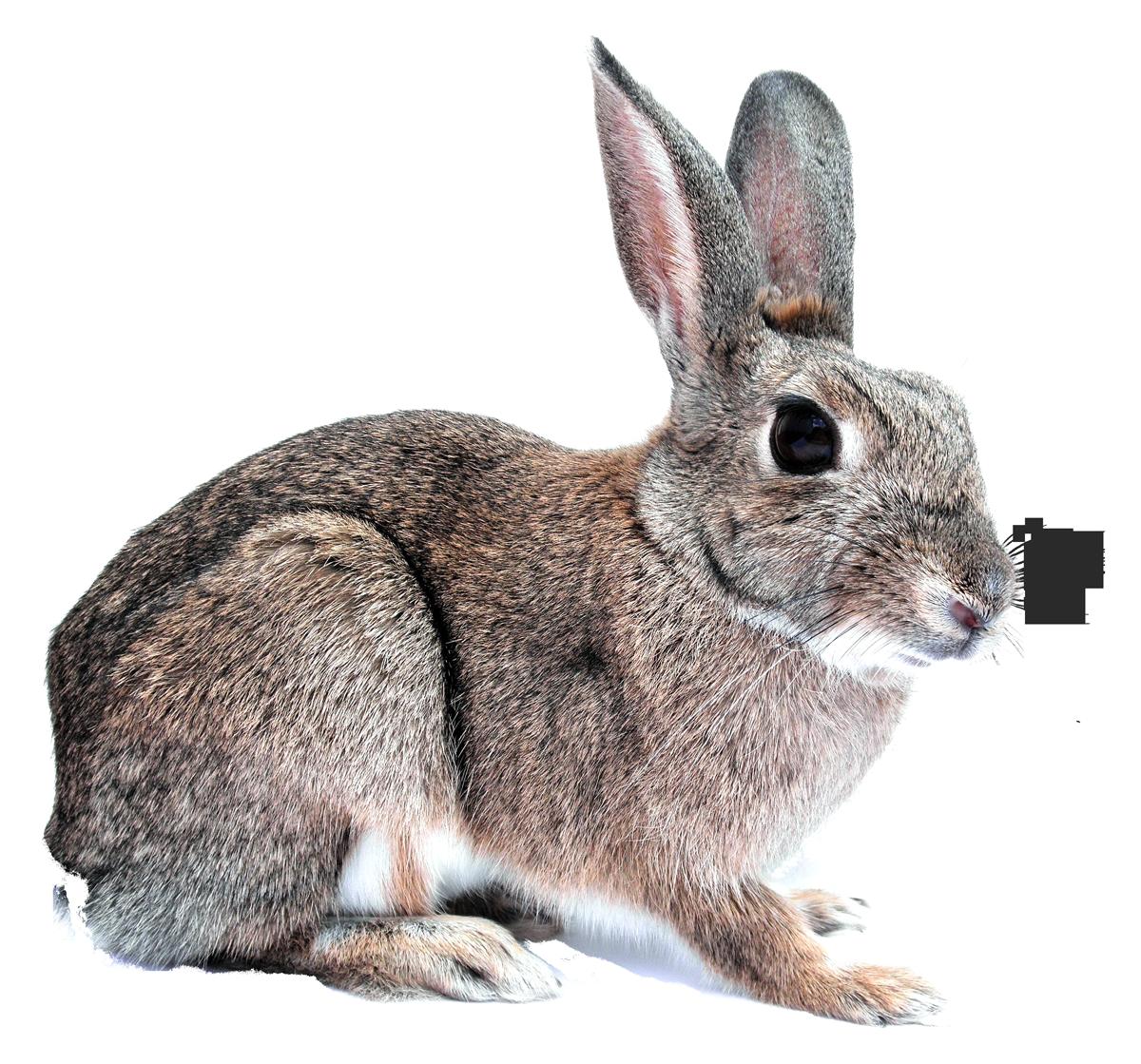Pawprint clipart bunny. Pet png images pngpix
