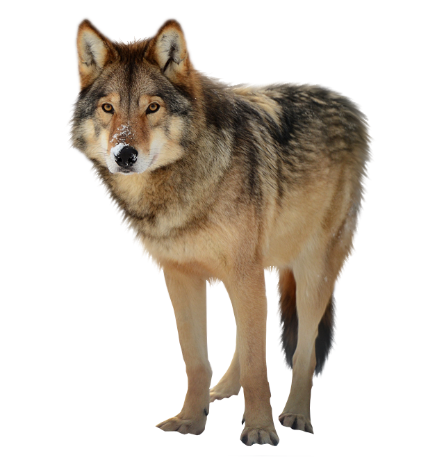 Paws clipart timberwolf. Timber wolf png by
