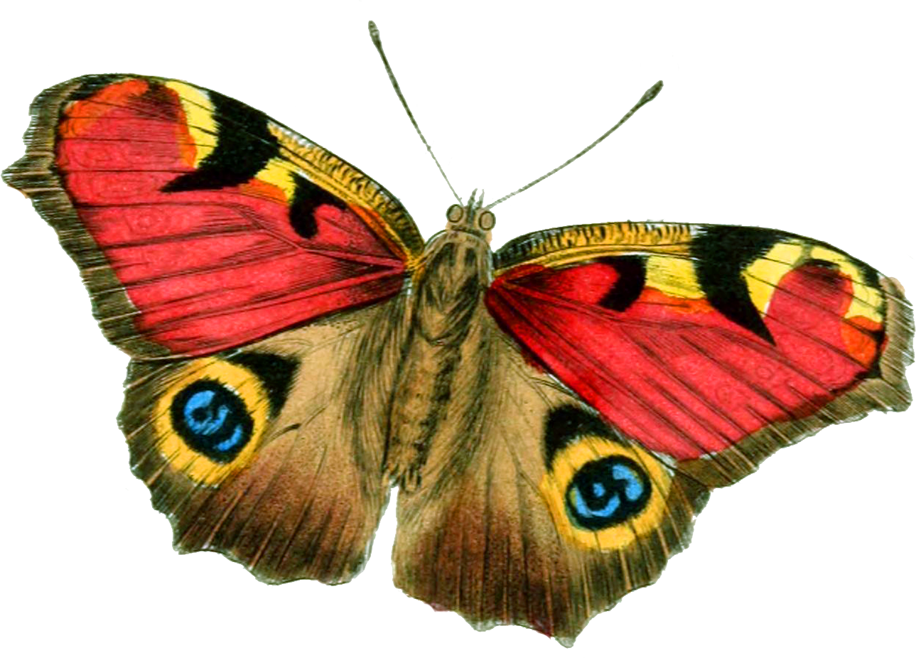 Twelve isolated stock photo. Peach clipart butterfly
