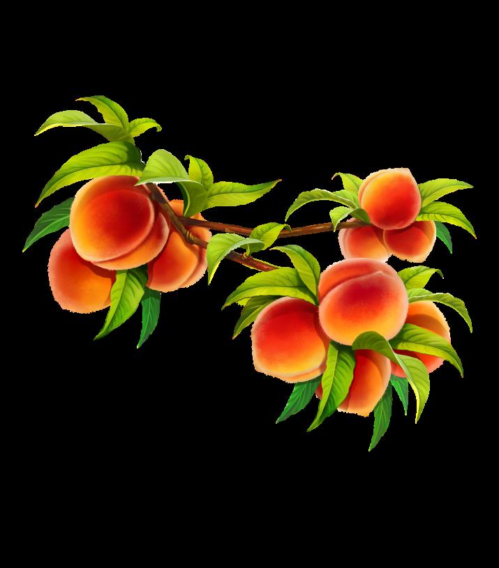 peach clipart fruit plant