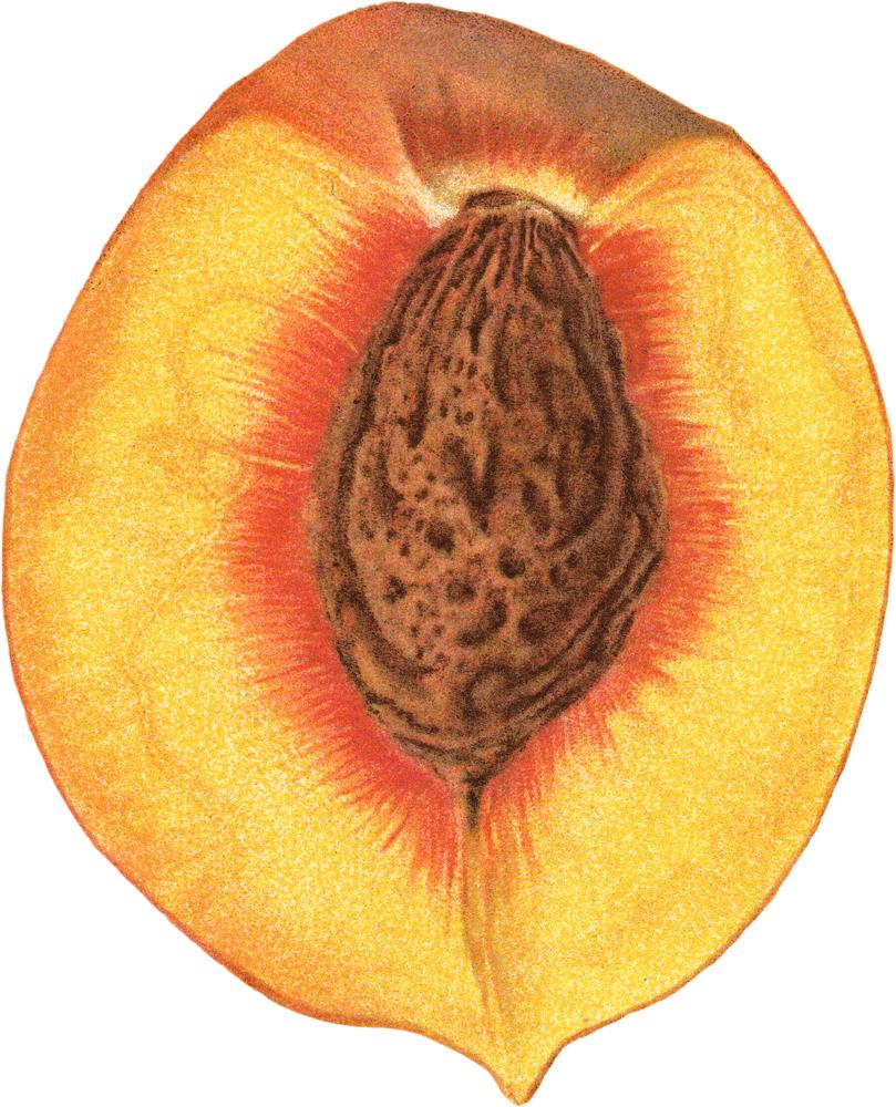 peach clipart peach seed