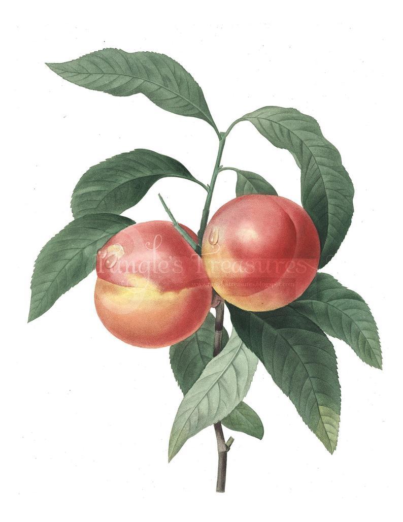 Peach clipart vintage peach.  off sale french