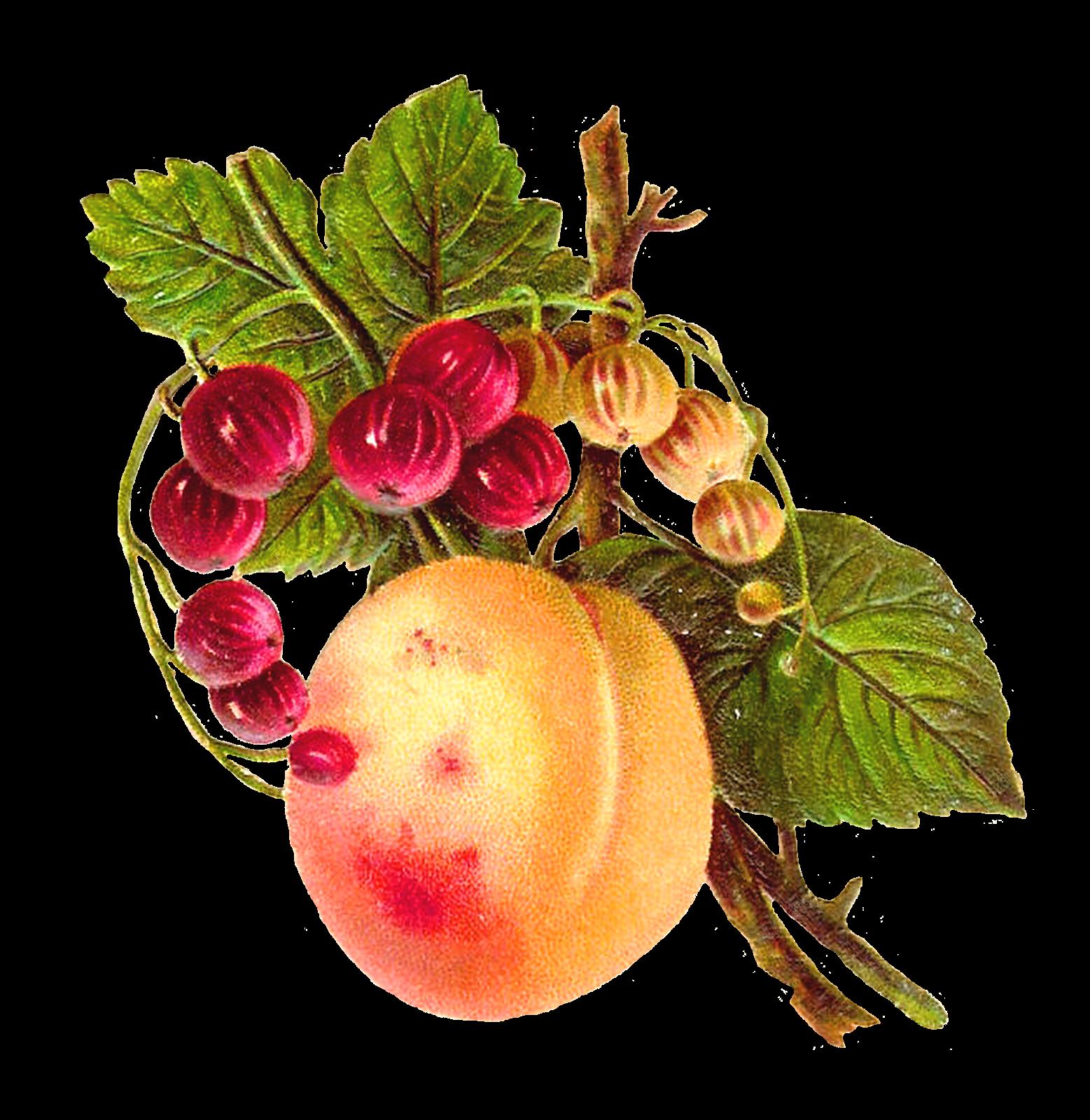 Peach clipart vintage peach. Antique images botanical fruit