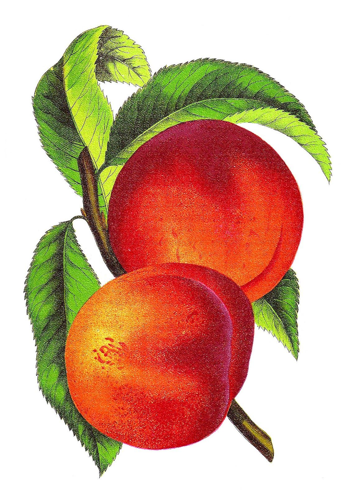 Peach clipart vintage peach. Antique images free fruit