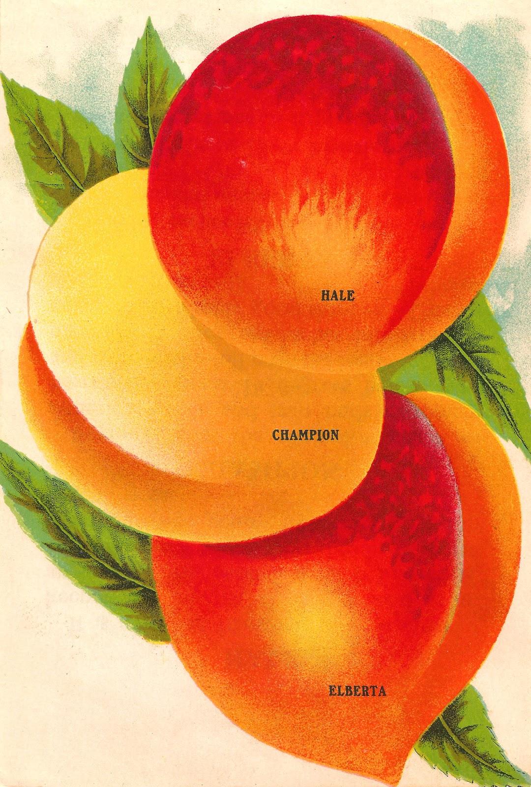 Antique images fruit clip. Peach clipart vintage peach