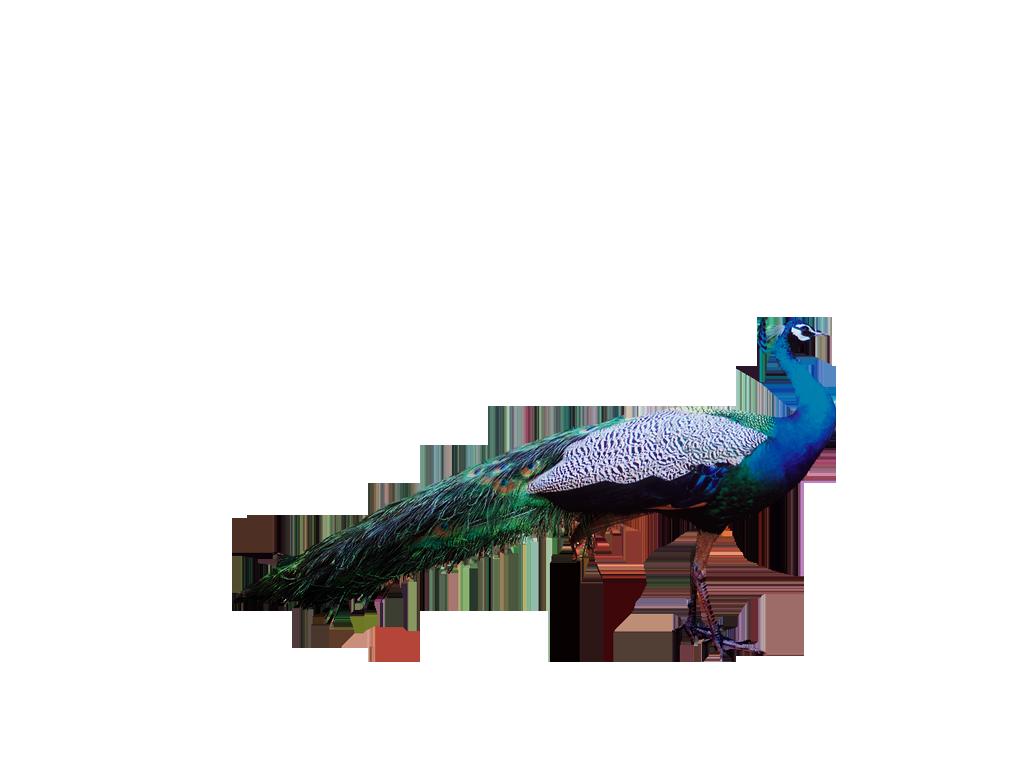 peacock clipart beak