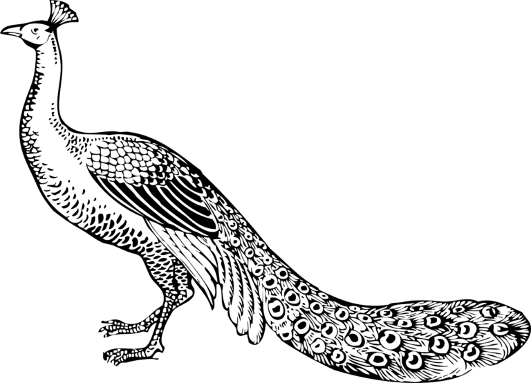 clip black and. Peacock clipart line art