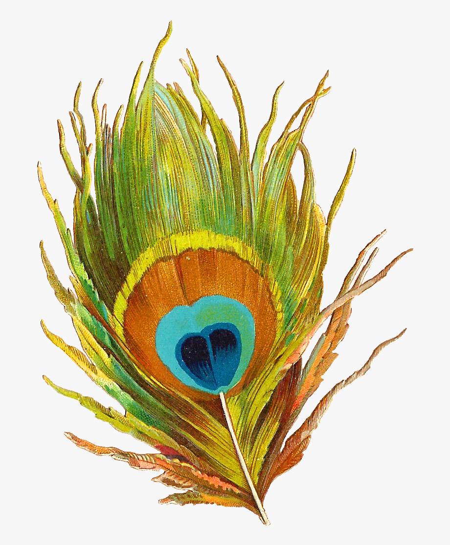 Peacock clipart mor. Info single feathers png