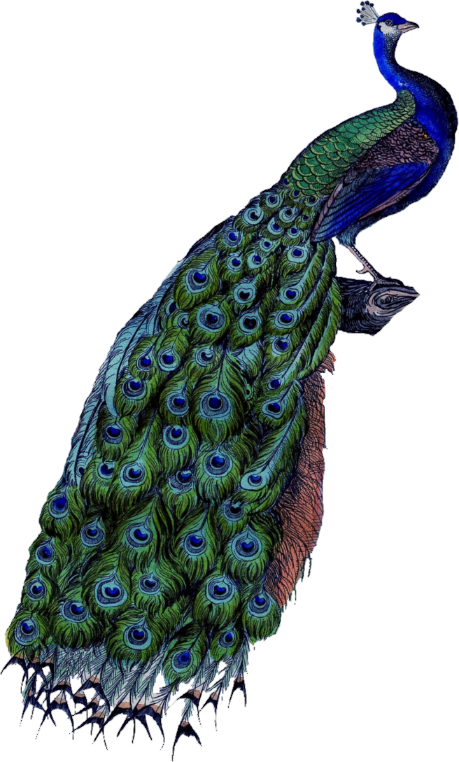 Png images free download. Peacock clipart peacock bird