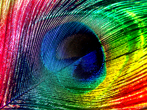 Feather colourful photography the. Peacock clipart rainbow