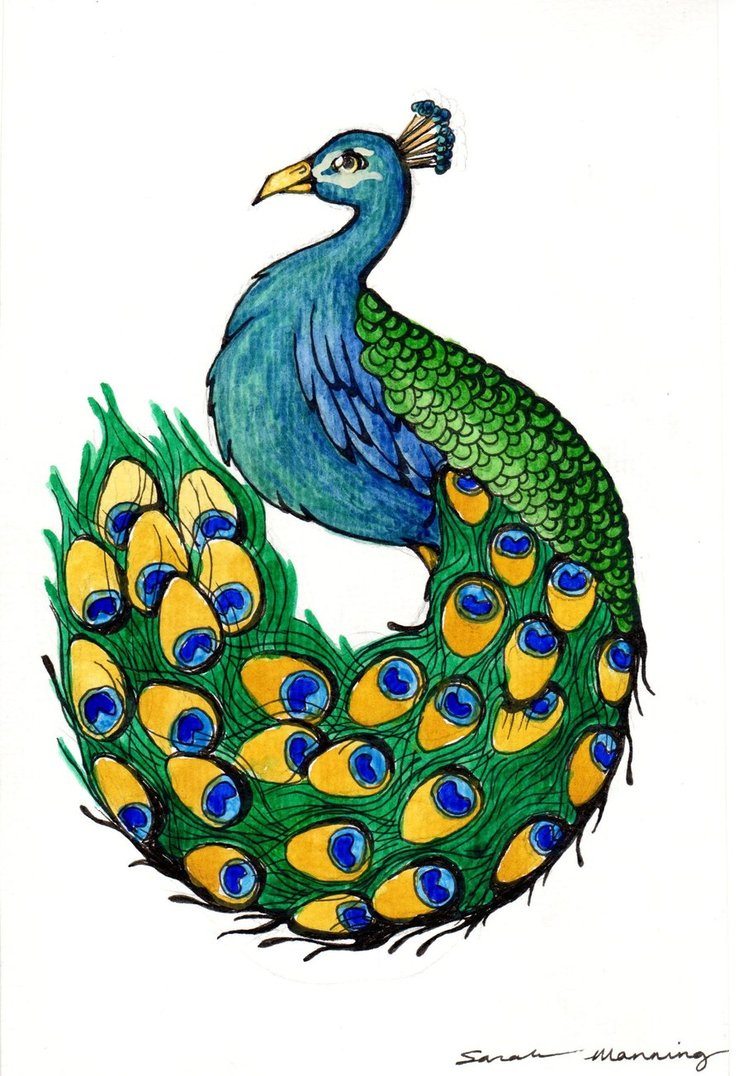 Peacock clipart sketch. Free drawing download clip