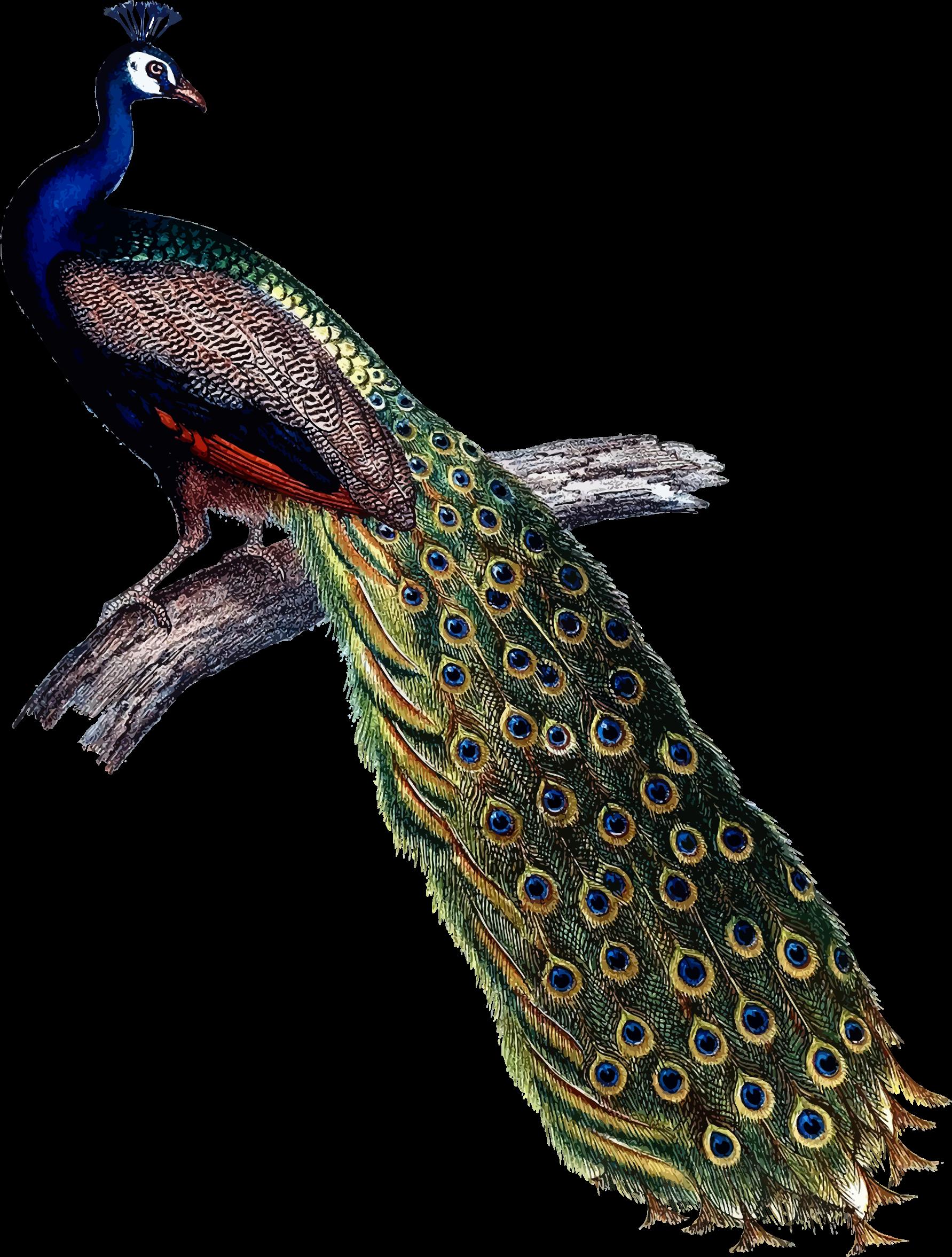 peacock clipart vector