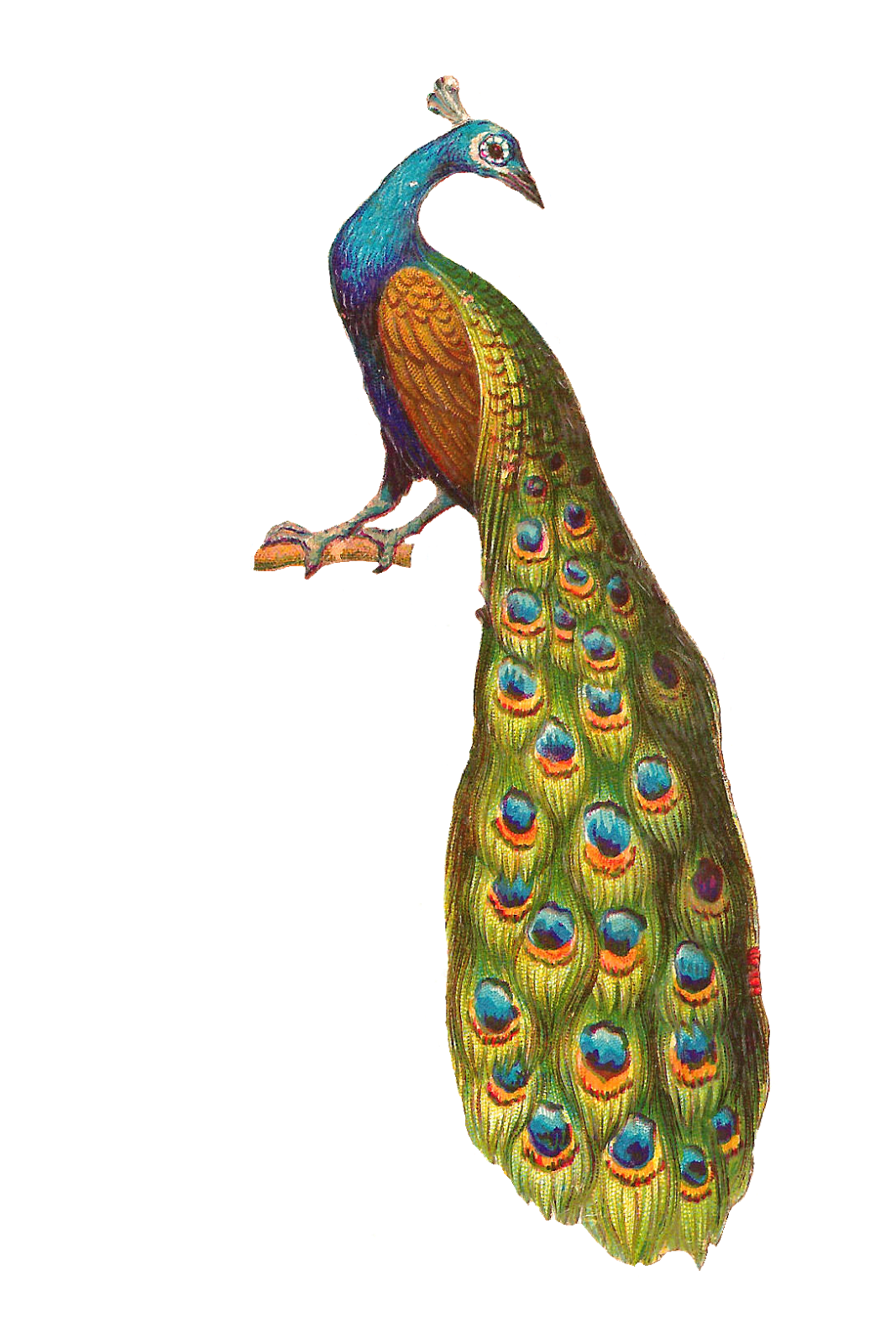 Peacock clipart vintage. Transparent png pictures free
