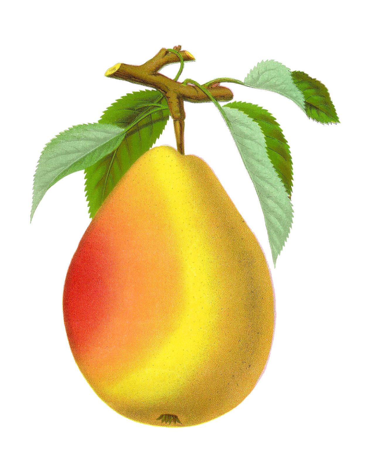 Pear clipart fruit seed. Antique images free digital